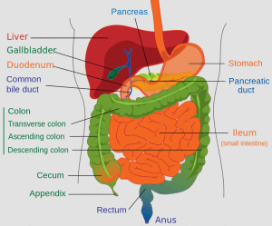 Lower human gastrointestinal tract - click to zoom