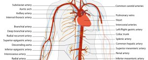 Heart and main arteries (click to zoom)